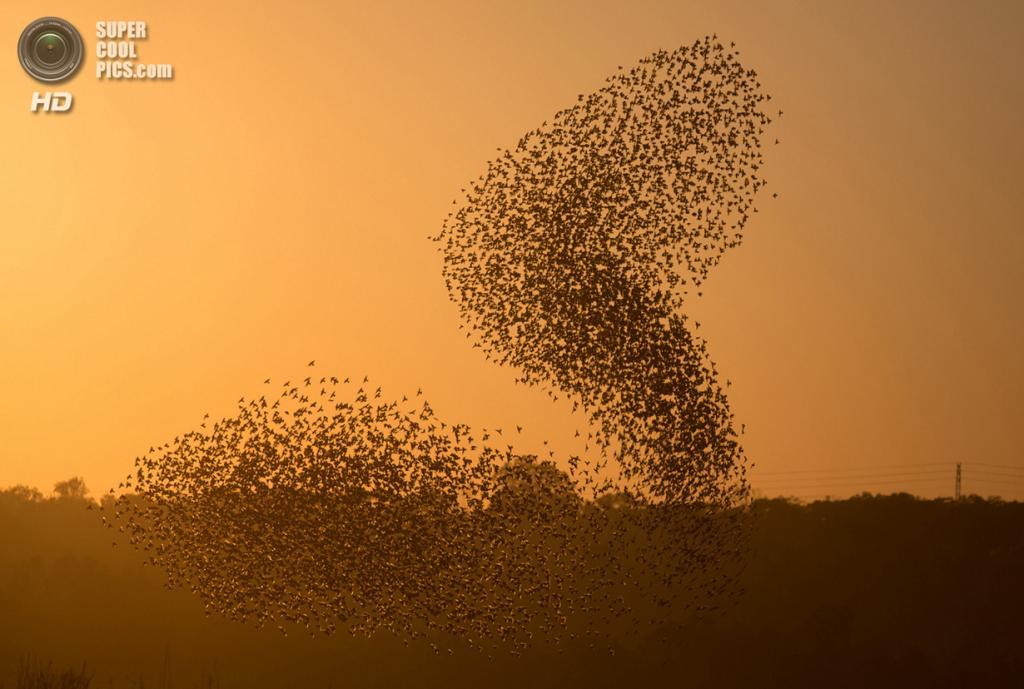 Израиль. Тидхар, Бней-Шимон. 12 февраля. Стая скворцов. (Menahem Kahana/AFP/Getty Images)