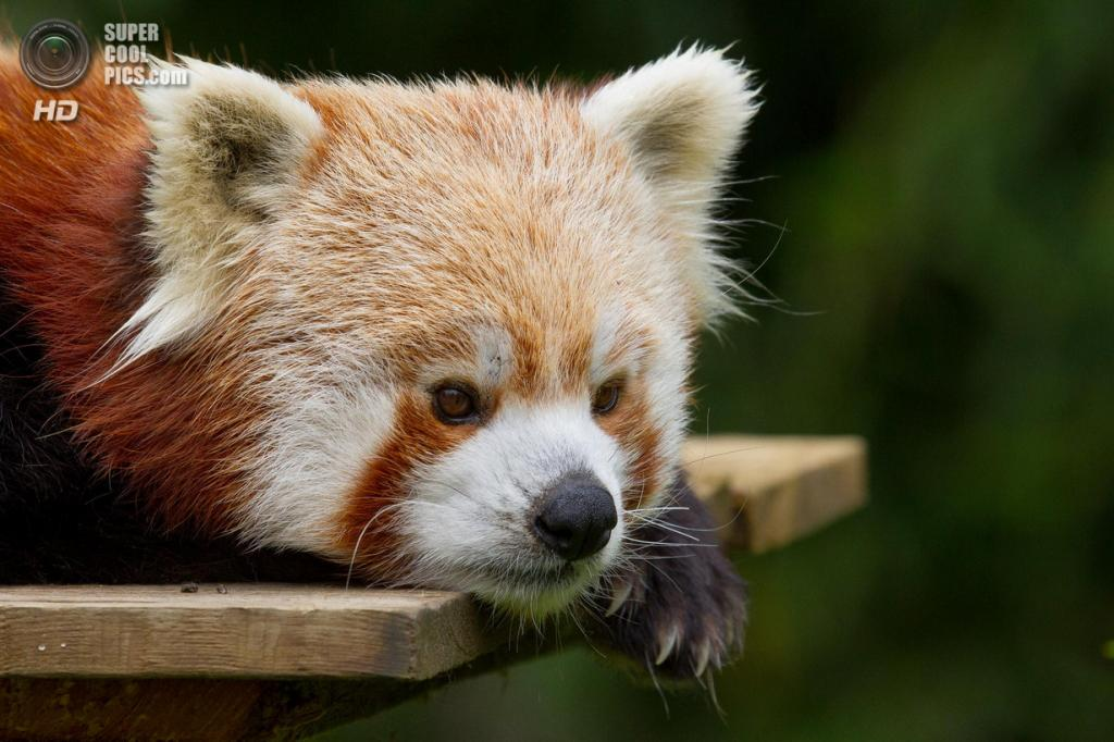 Малая панда. (Sébastien Davoust)