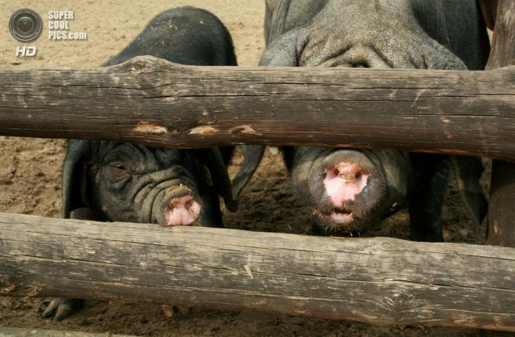 Свиньи породы мэйшань. (Julia)
