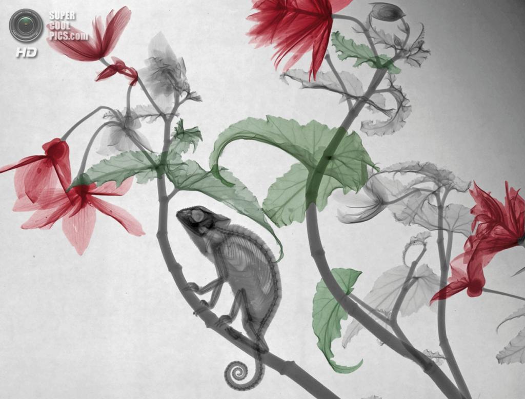 «Хамелеон и бегония». (Arie van't Riet)