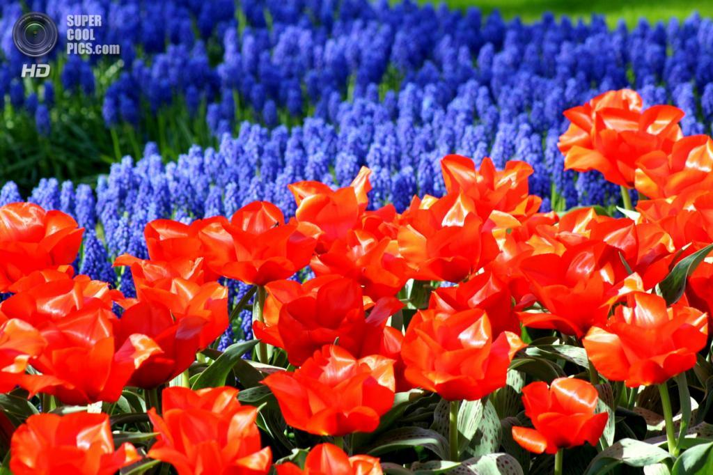 Нидерланды. Лиссе. В королевском парке цветов Кёкенхоф. (Giorgia Dedone)