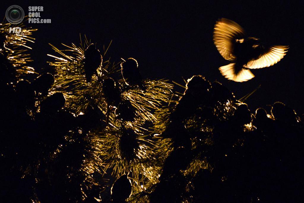Италия. Рим. 3 декабря 2013 года. Скворцы пережидают ночь на дереве. (Gabriel Bouys/AFP/Getty Images)