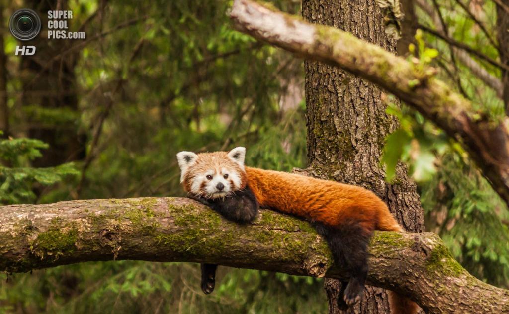 Малая панда. (Dani Turnšek)