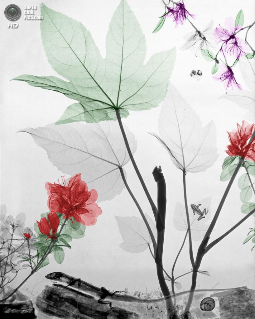 «Фатсия японская, азалия и рододендрон с ящерицей». (Arie van't Riet)