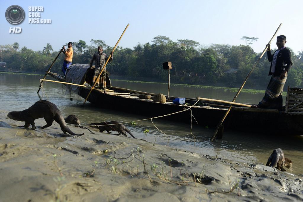 Бангладеш. Нарайл, Кхулна. 11 марта. Рыбаки ловят рыбу при помощи одомашненных выдр. (MUNIR UZ ZAMAN/AFP/Getty Images)