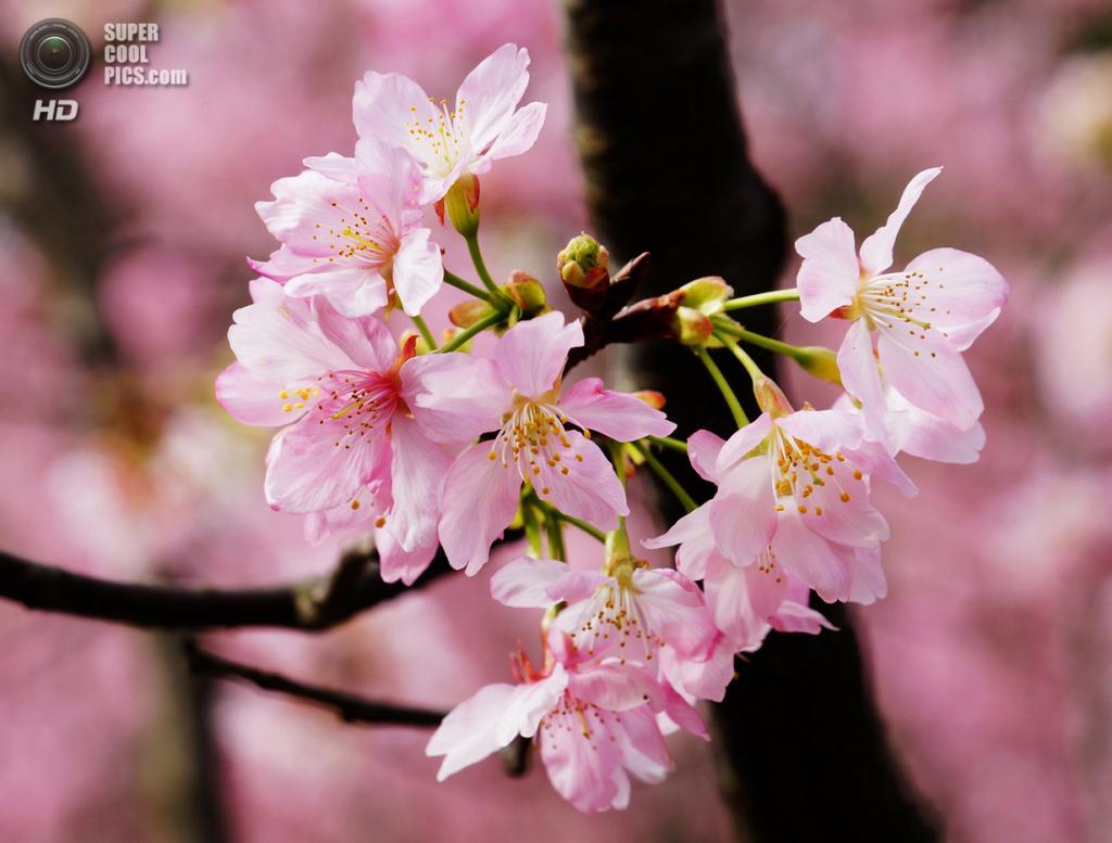 Цветение вишни. (liu han-lin)
