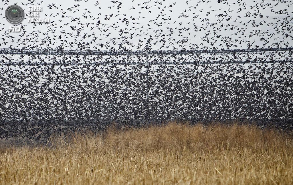 Румыния. Бухарест. 20 ноября 2011 года. Скворцы над полем. (AP Photo/Vadim Ghirda)