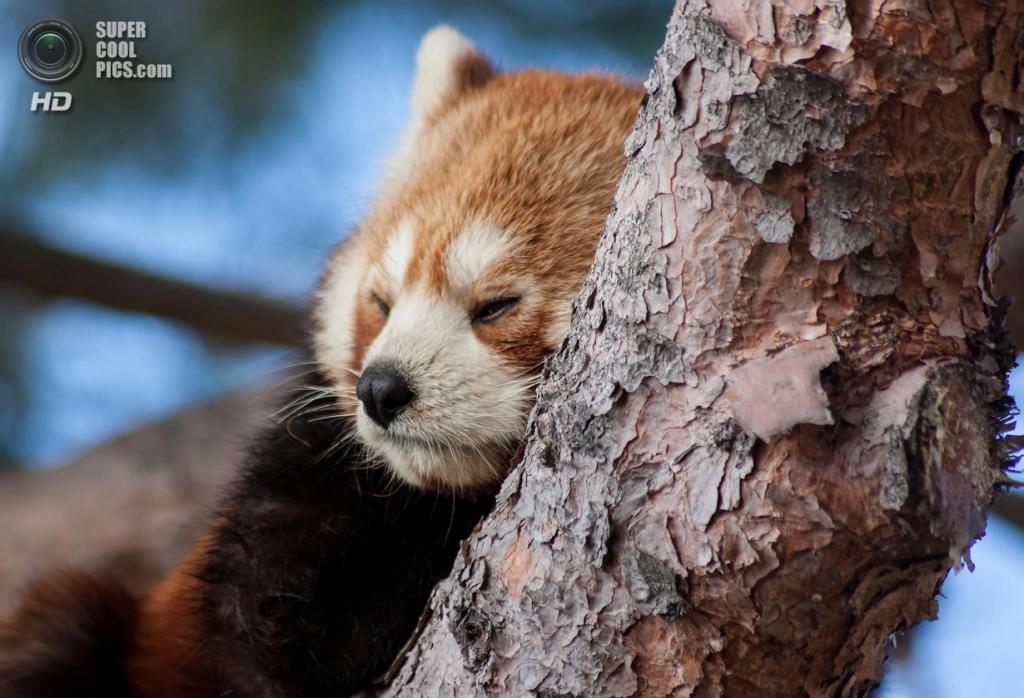 Малая панда. (James Arup)