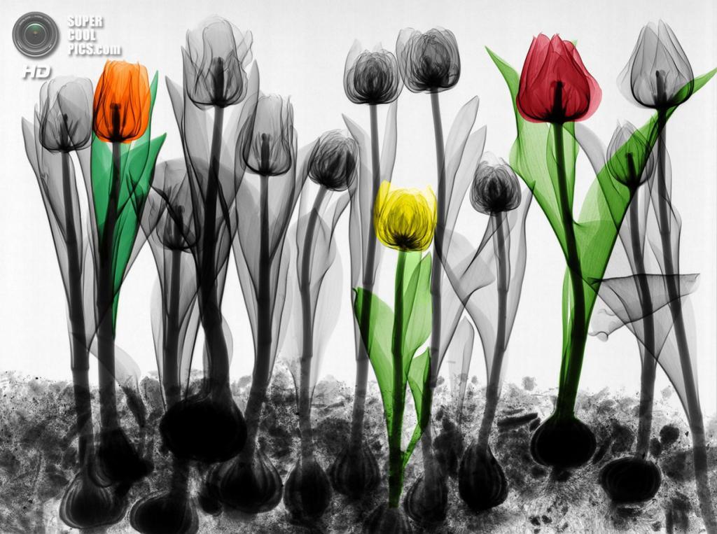 «Поле тюльпанов». (Arie van't Riet)