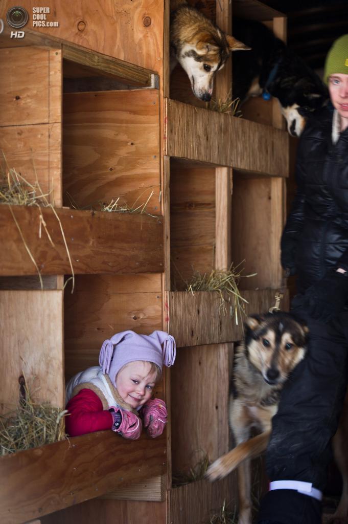 США. Уиллоу, Аляска. 2 марта. Энни Сивей играет с собаками в грузовике. (Erik Hill/Anchorage Daily News/MCT)