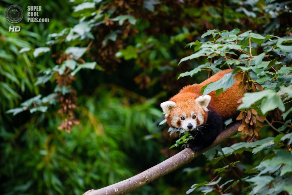 Малая панда. (Victor EA)