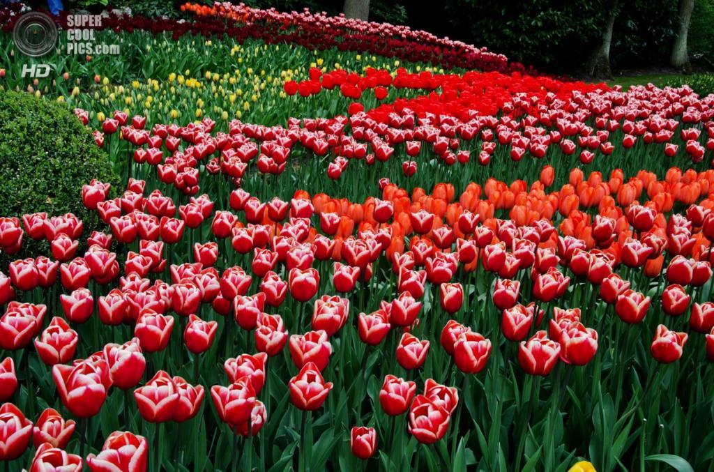 Нидерланды. Лиссе. В королевском парке цветов Кёкенхоф. (Arghya chatterjee)