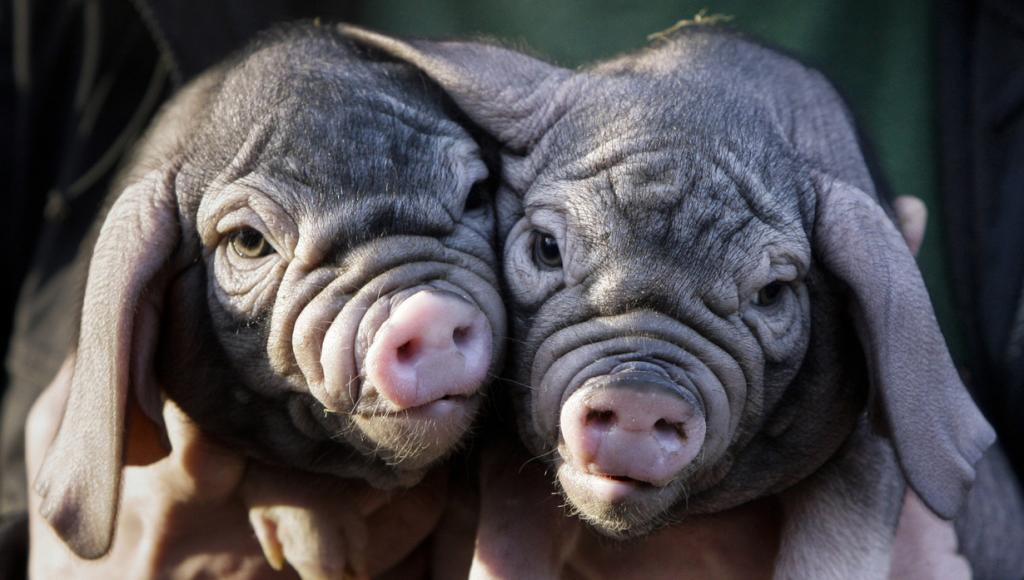 Germany Zoo Piglets