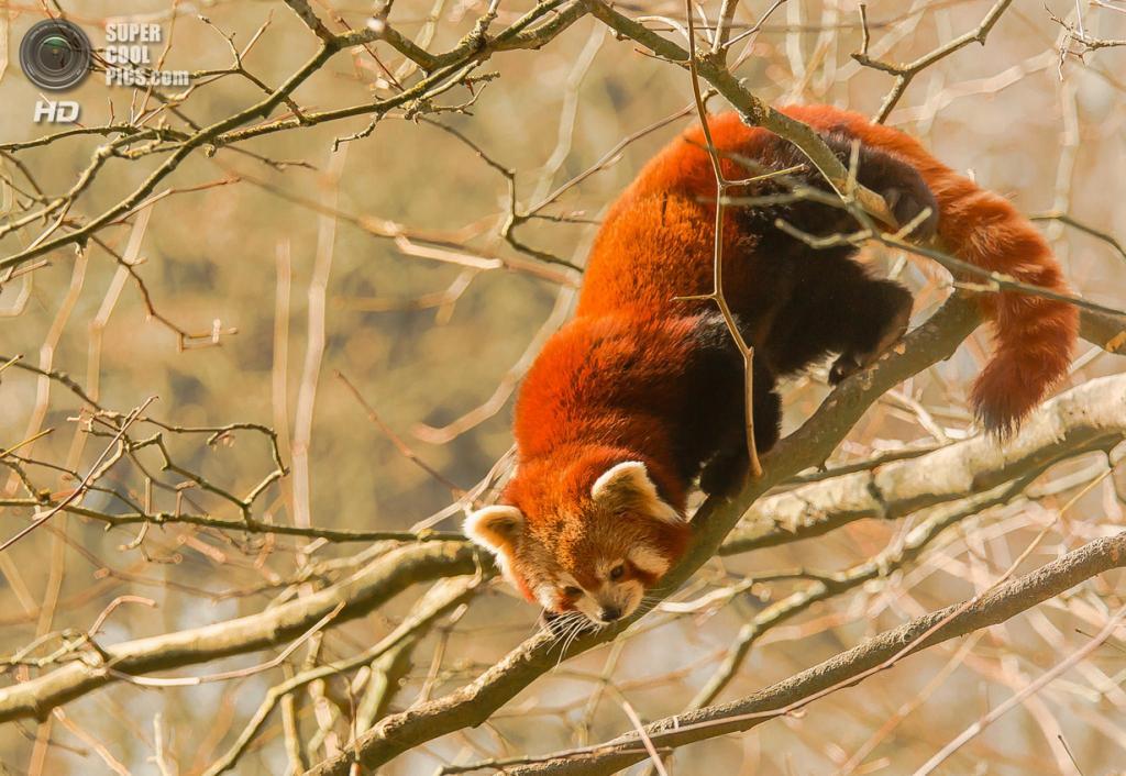 Малая панда. (Andreas Fürst)