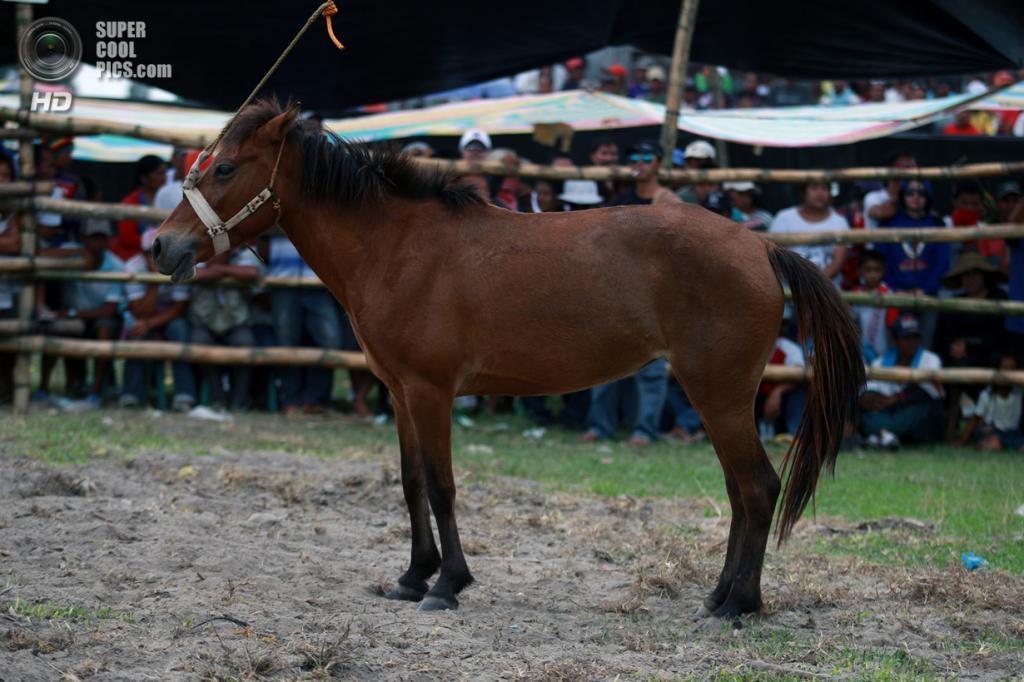 Филиппины. Тболи, Южный Котабато. 10 марта. Кобыла, привязанная по центру арены. (Jeoffrey Maitem/Getty Images)