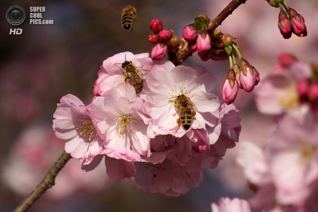 Цветение вишни. (Gitpix)