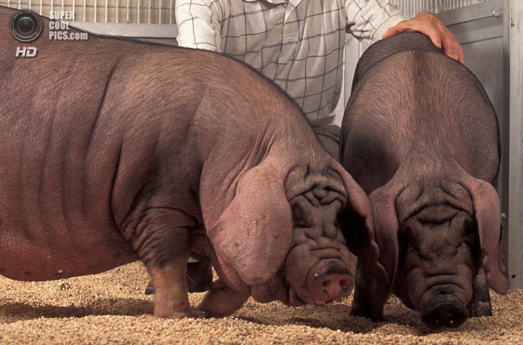 Свиньи породы мэйшань. (Keith Weller)