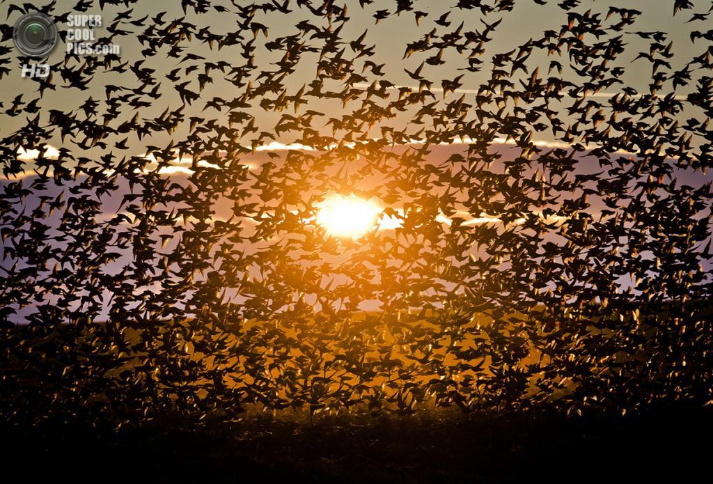 Румыния. Бакэу. 10 декабря 2013 года. Скворцы в лучах солнца. (AP Photo/Vadim Ghirda)