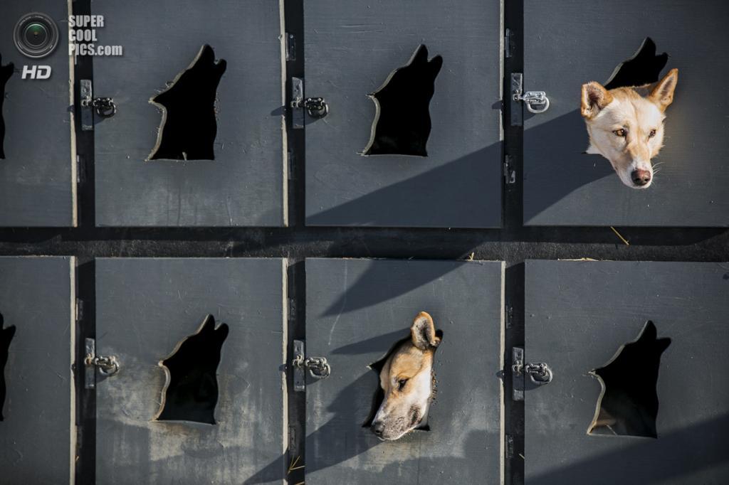 США. Уиллоу, Аляска. 2 марта. Собаки Джастина Савидиса отдыхают в своих будках перед рестартом. (REUTERS/Nathaniel Wilder)