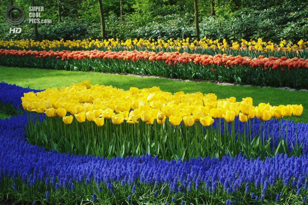 Нидерланды. Лиссе. В королевском парке цветов Кёкенхоф. (Mike O)