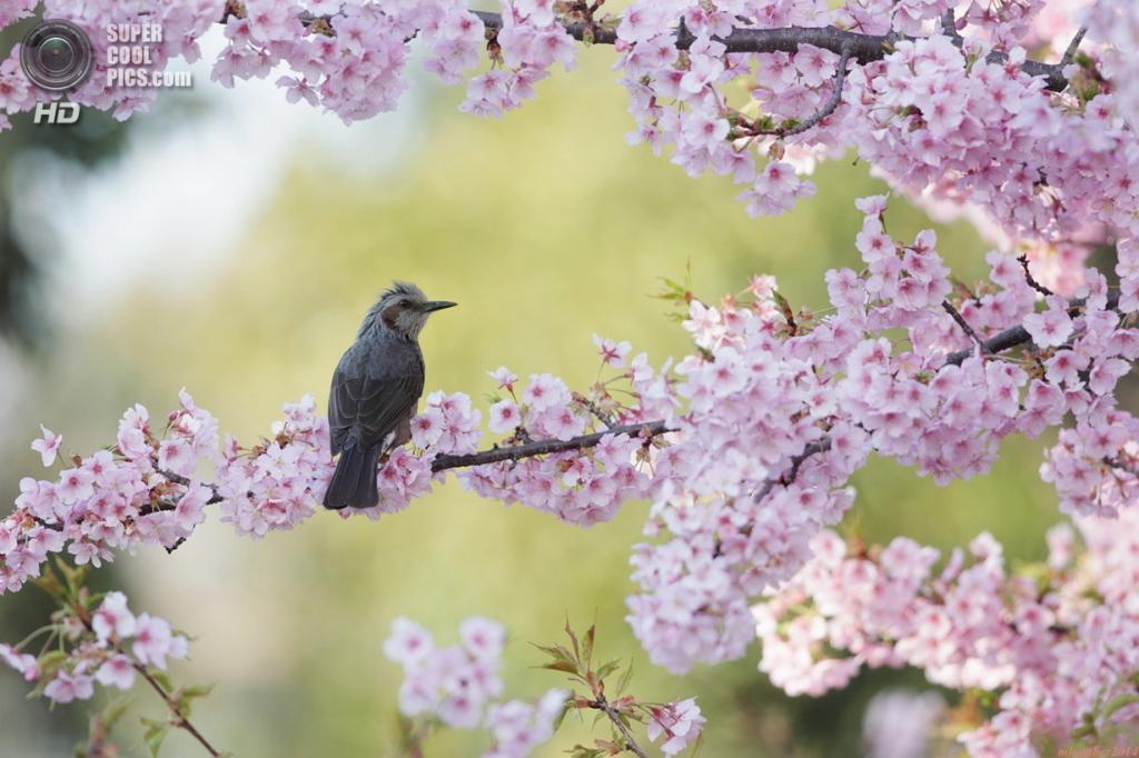 Цветение вишни. (mbomber2013)