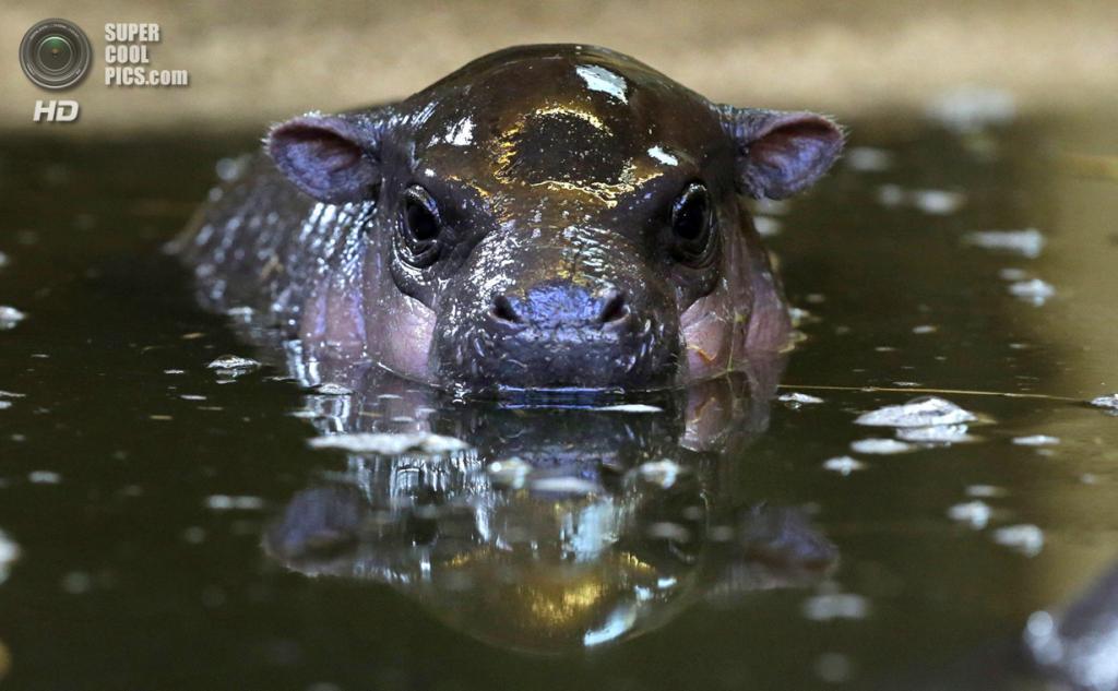 Великобритания. Бристоль, Англия. 26 февраля. Винни во время купания. (Matt Cardy/Getty Images)