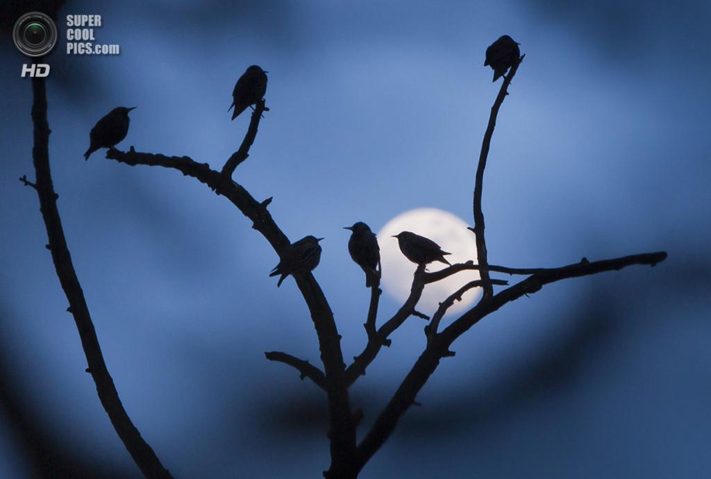 Германия. Фридрихсдорф, Гессен. 11 февраля. Скворцы на деревьях при свете луны. (Frank Rumpenhorst/AFP/Getty Images)