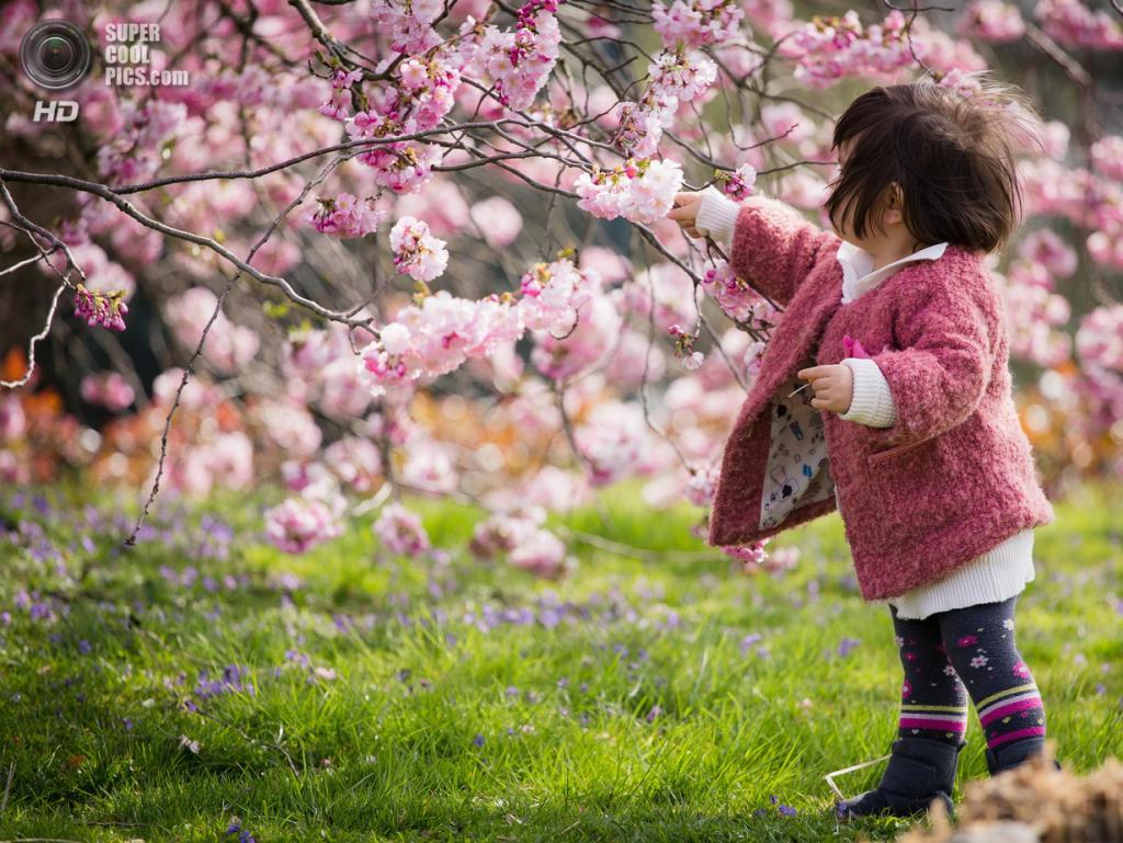 Цветение вишни. (Julien Chan Tim)