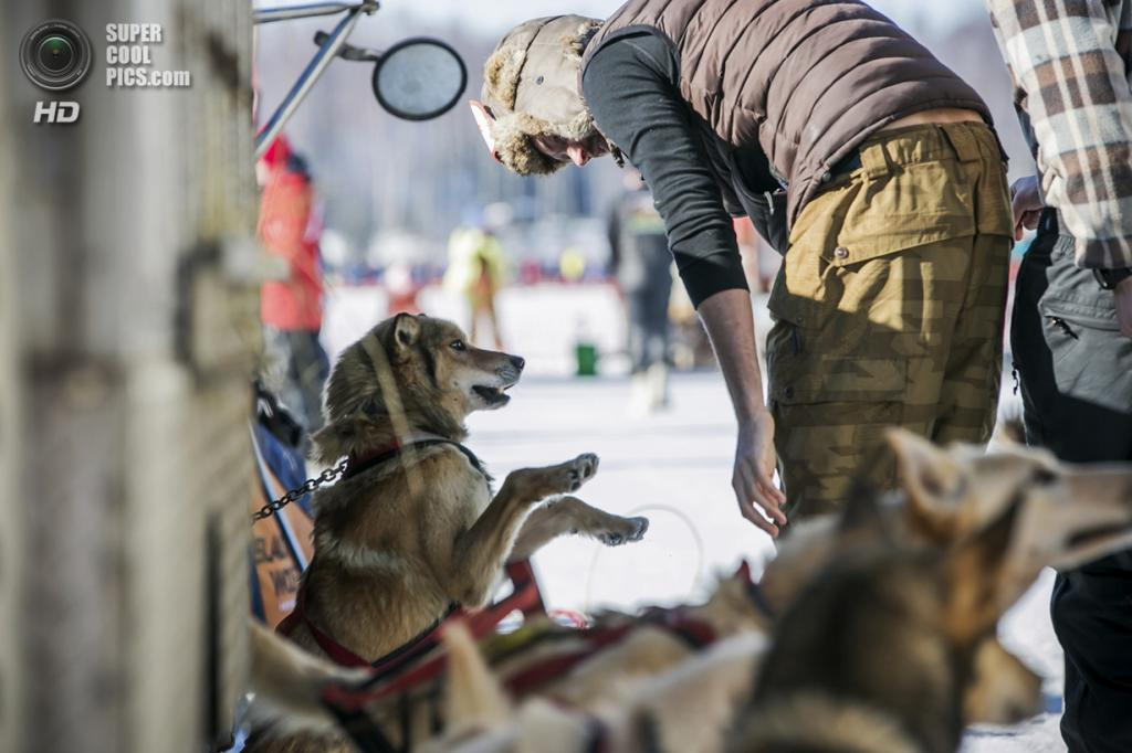США. Уиллоу, Аляска. 2 марта. Игривое настроение — явный признак, что собаки готовы к приключениям. (REUTERS/Nathaniel Wilder)