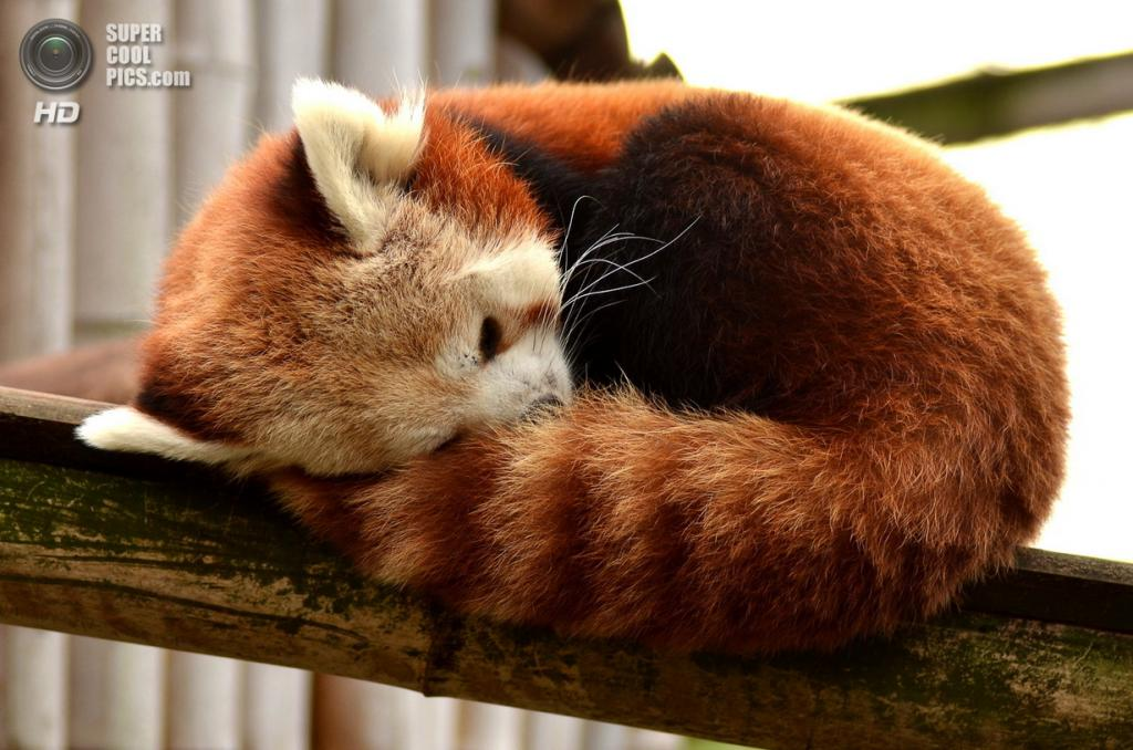 Малая панда. (Younn Hazo)