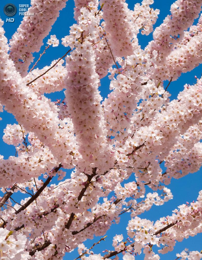 Цветение вишни. (Darik Datta)