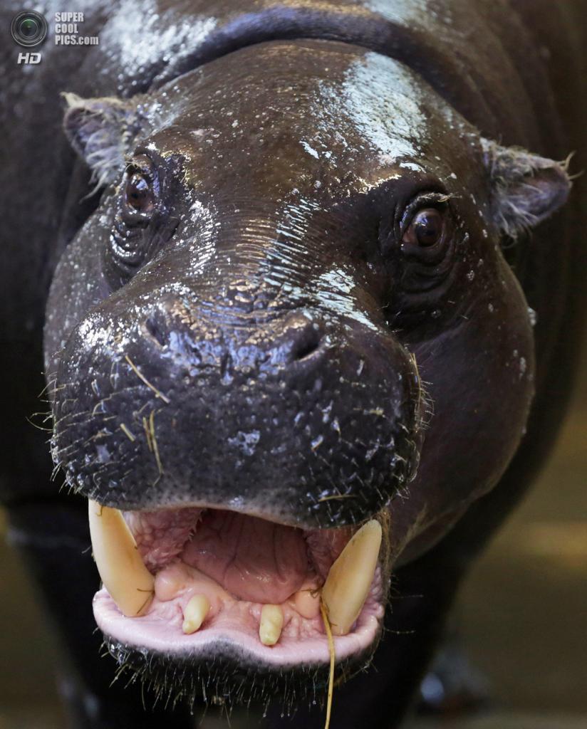Великобритания. Бристоль, Англия. 26 февраля. Сирана демонстрирует зубы. (Matt Cardy/Getty Images)