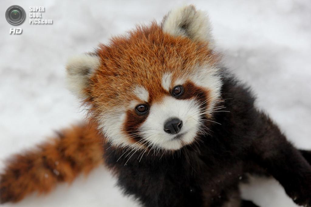 Малая панда. (Jean-Francoys Auclair)