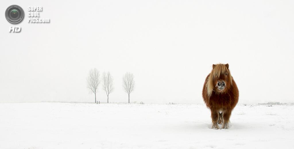 Пони в снегу. Номинация: Nature and Wildlife, Open Competition, 1 место. (Gert van den Bosch/2014 Sony World Photography Awards)