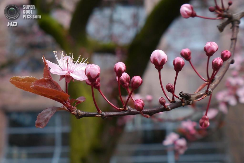 Цветение вишни. (Nathan Bauman)