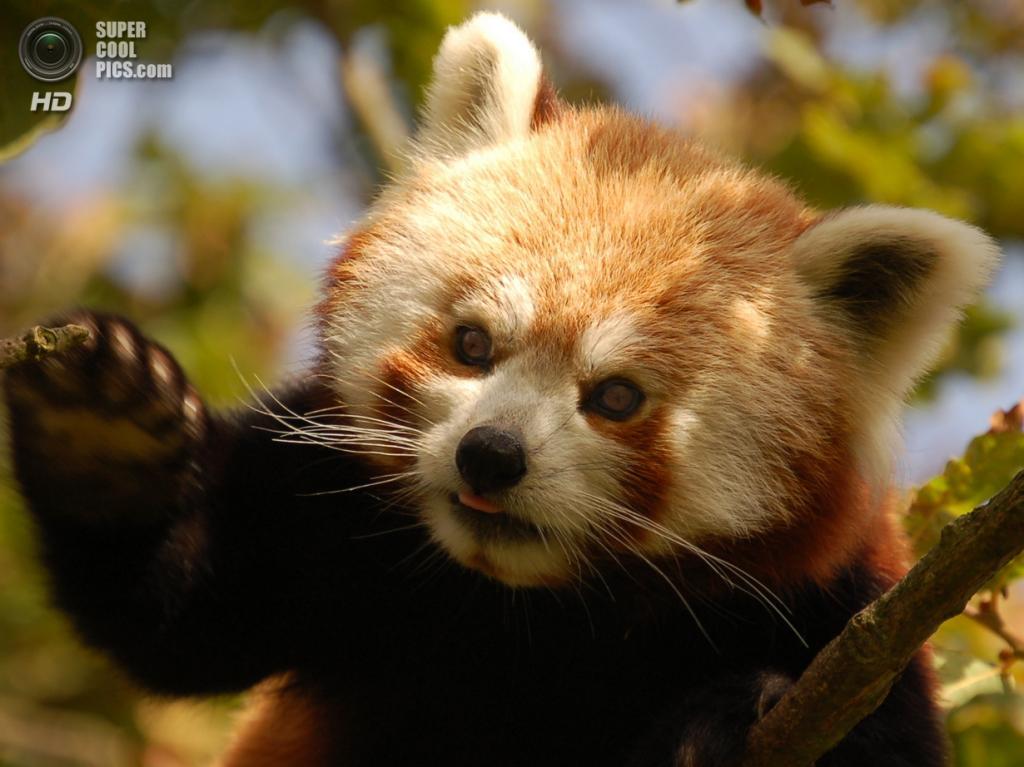Малая панда. (tb1961)