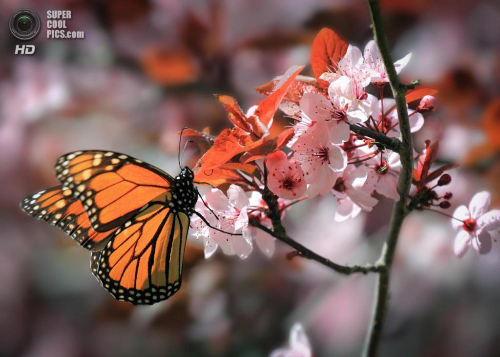 Цветение вишни. (jwtrlndr)