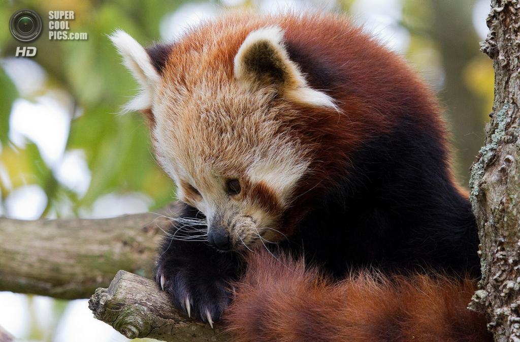 Малая панда. (Tony Yeomans)
