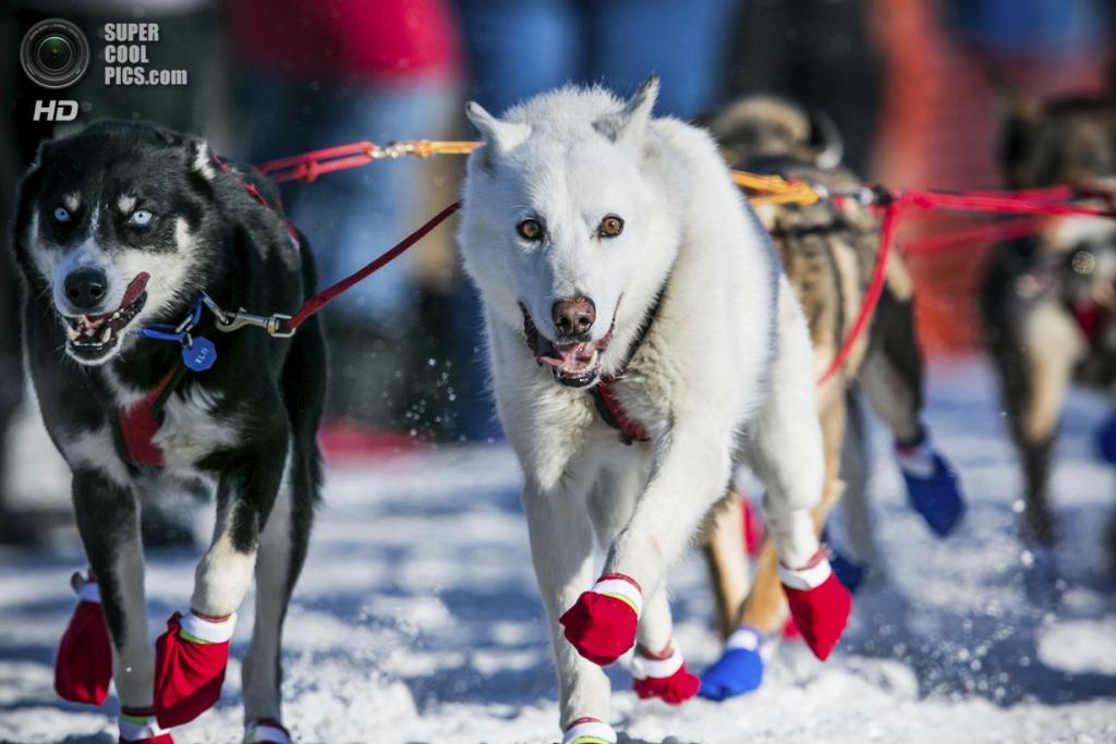 США. Уиллоу, Аляска. 2 марта. Собаки в мокасинах — так их лапы не замерзают. (REUTERS/Nathaniel Wilder)