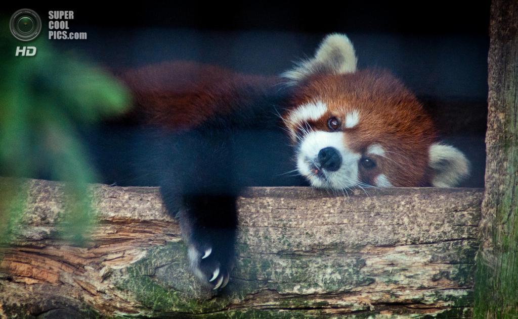 Малая панда. (Gary)