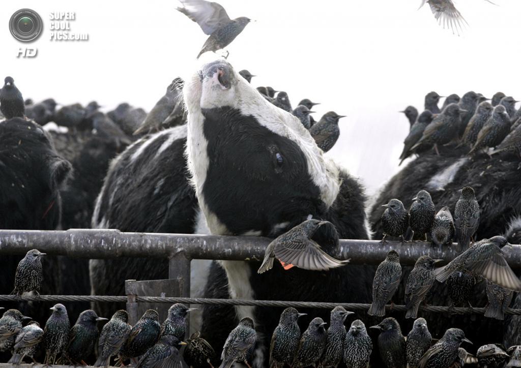 США. Мид, Небраска. 18 января 2007 года. Скворцы наседают на коров в поисках пищи и тепла. (AP Photo/Nati Harnik)
