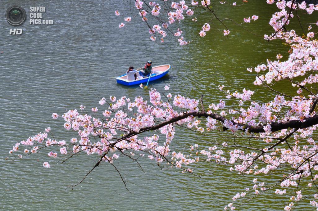 Цветение вишни. (Ronald Julian)