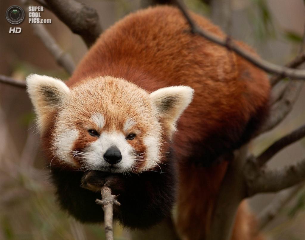 Малая панда. (Mark Lamontagne)