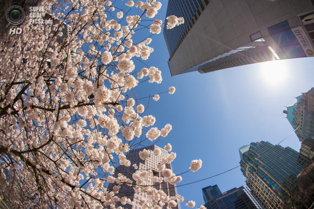Цветение вишни. (Rishad Daroowala)