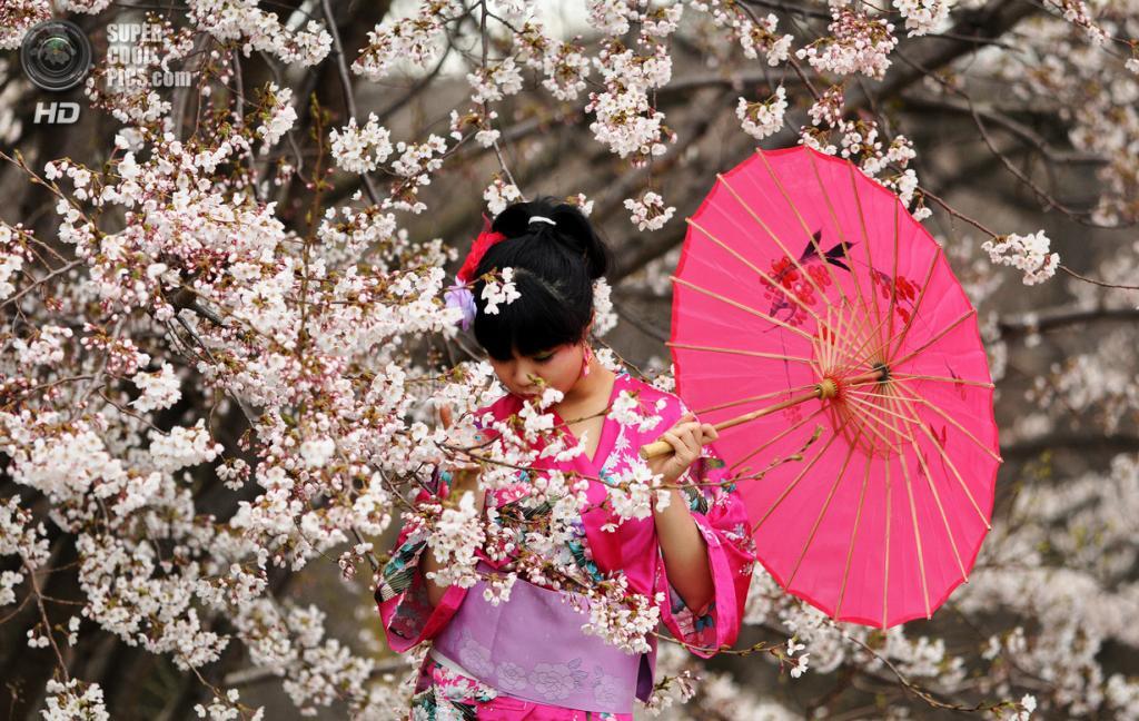 Цветение вишни. (Jon Hurd)