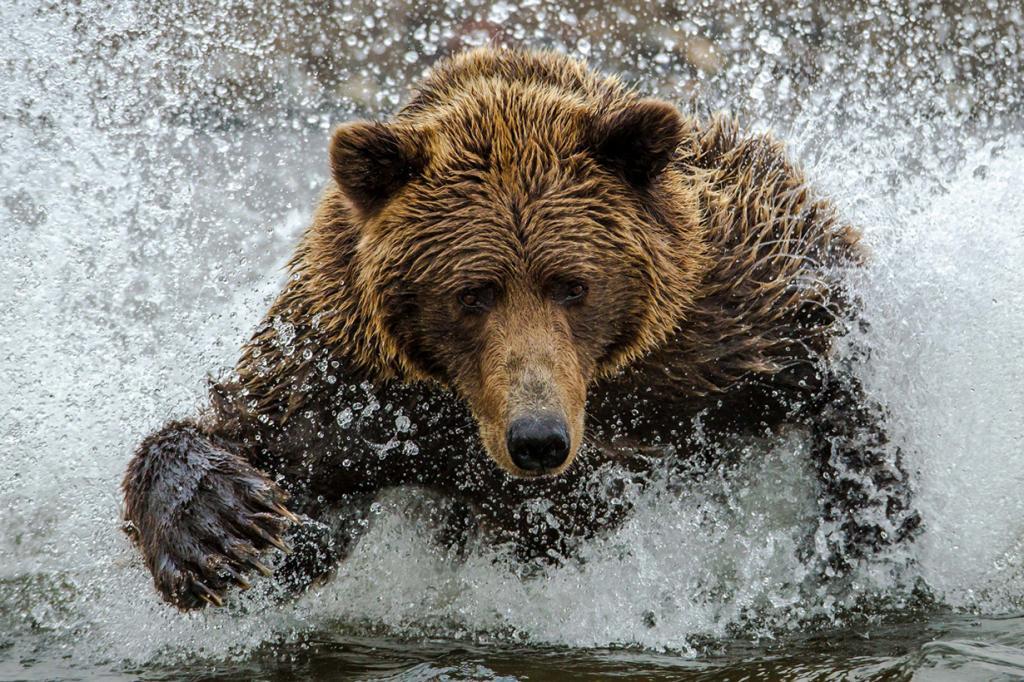 Категория: Natural World. Бурый медведь ловит рыбу в Национальном парке и заповеднике Озеро Кларк. (Daniel D'Auria/Smithsonian.com)