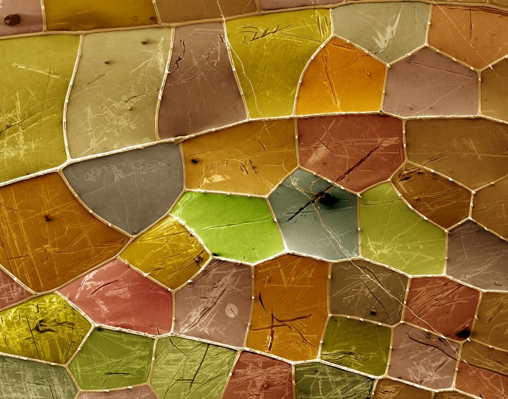 Микро: Элемент крылышка стрекозы Anax junius. (P. Kelly)