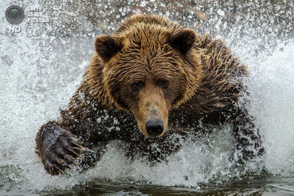 Бурый медведь ловит рыбу в Национальном парке и заповеднике Озеро Кларк. (Daniel D'Auria/Smithsonian.com)