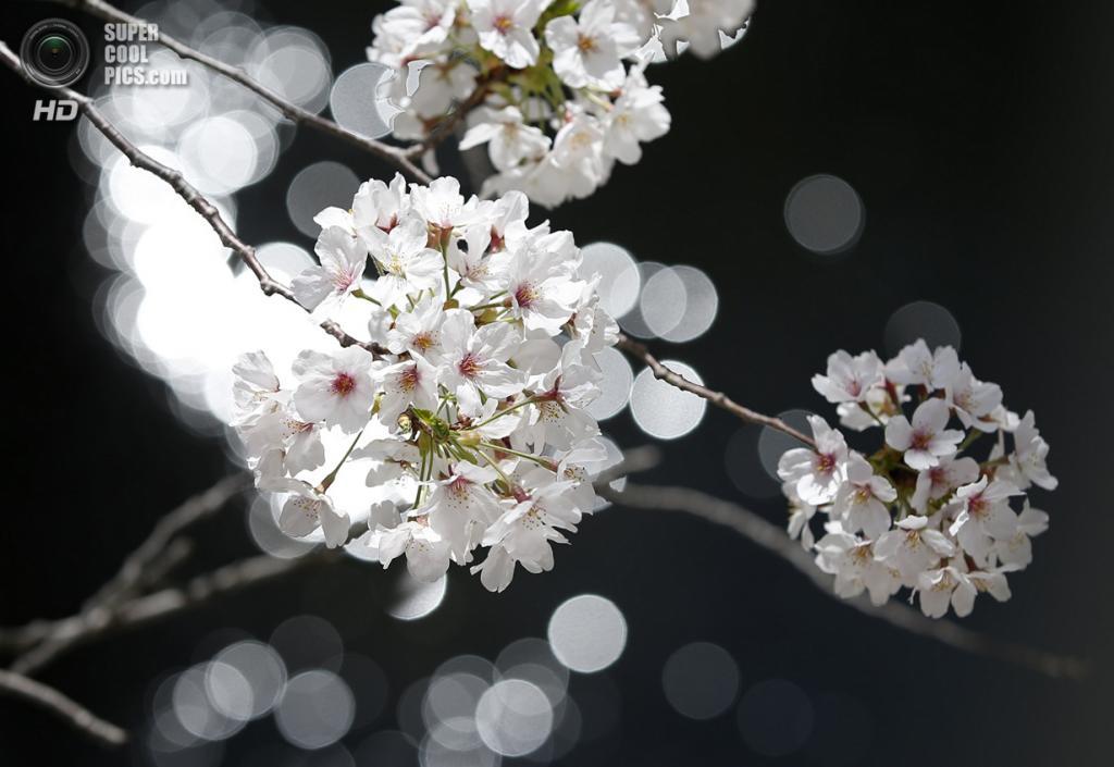 Япония. Токио. 31 марта. Цветение сакуры. (REUTERS/Toru Hanai)