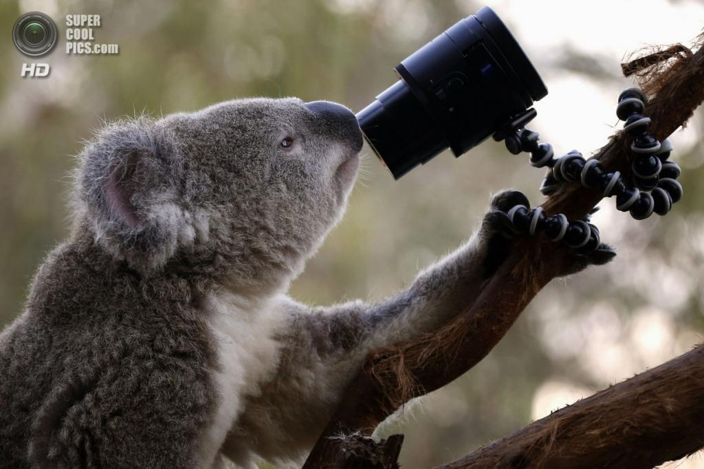 Австралия сидней 3 апреля коала в